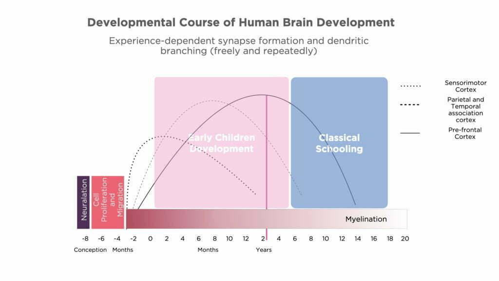 Development Course of Human Brain Development